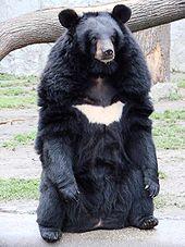 170pxursus_thibetanus_3_wroclaw_zoo